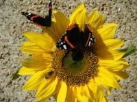 Sunflower with butterflies
