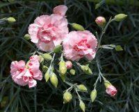 Pinks 4