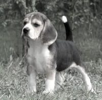 foxhound-puppy